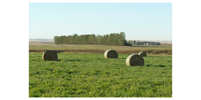 Alfalfa hay bales on pasture