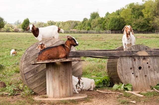 Goats in a yard