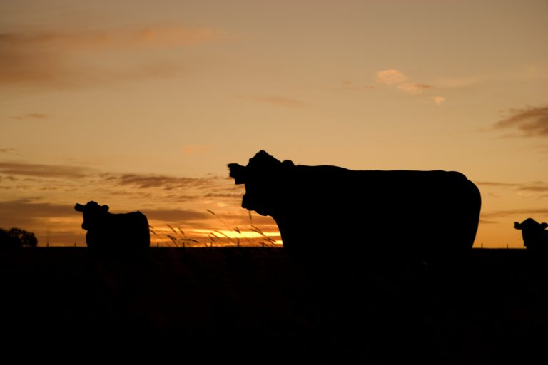 Cattle in Silhouette