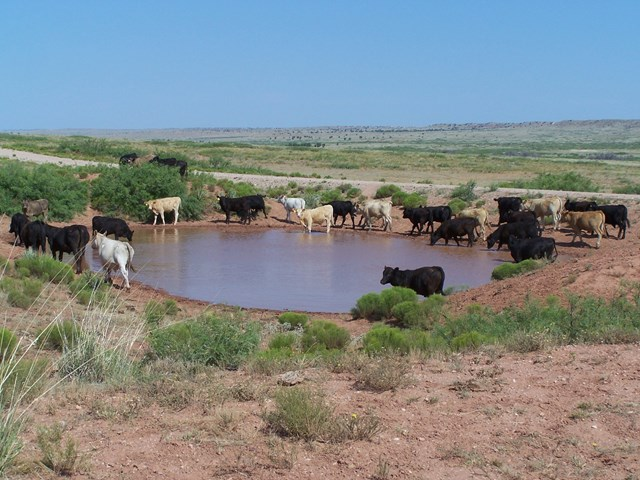 Cows drinking from a tank on pasture
