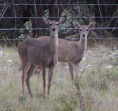 two deer in front of fence