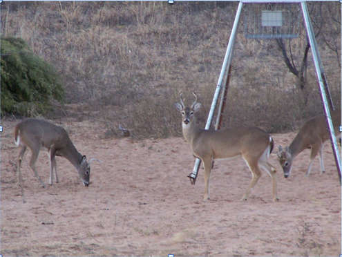 Deer around a feeder