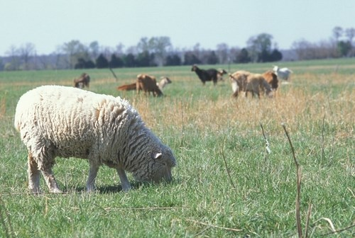 Sheep grazing on pasture