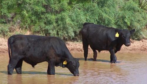 Cattle drinking water out of a creek