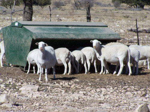 Sheep eating out of a feeder