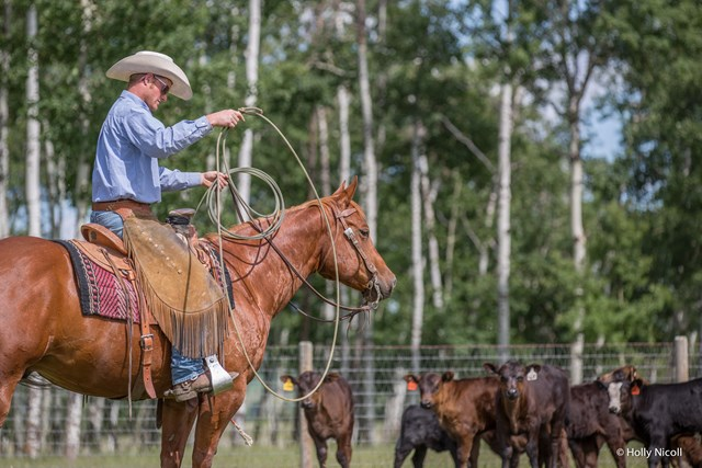 cowboy readying lasso on horseback while cows look on