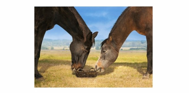 Two horses eating together