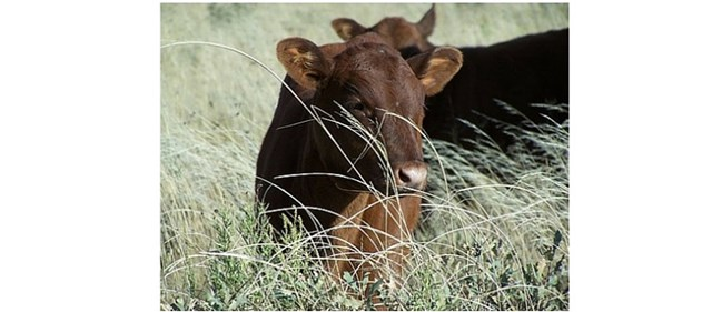 brown cow lying in tall grass