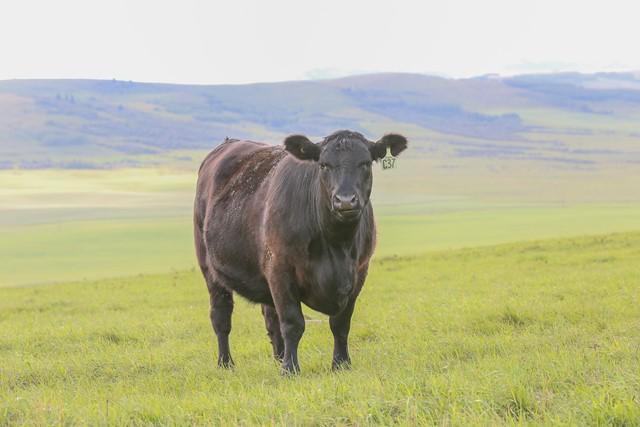 Black Angus Heifer on Hillside