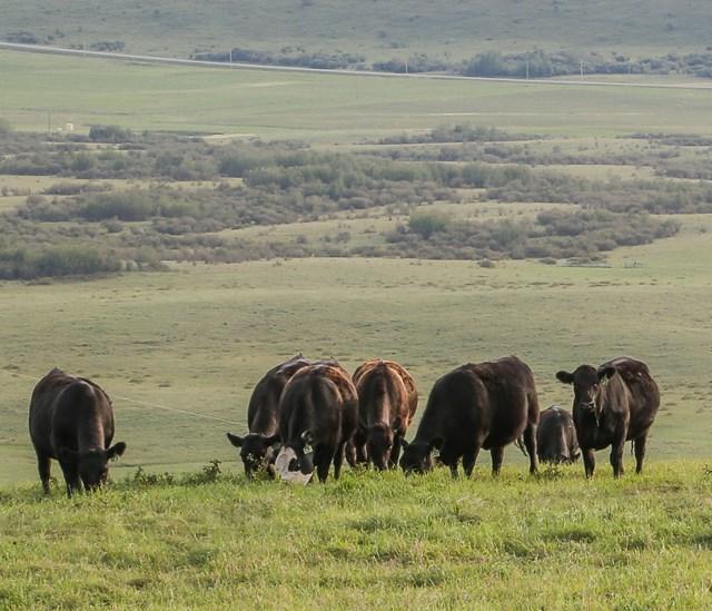 Black Angus Cows on Hilliside
