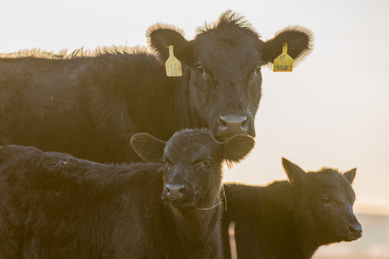 Black Cow with 2 Calves