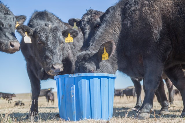 Black Cows eating mineral