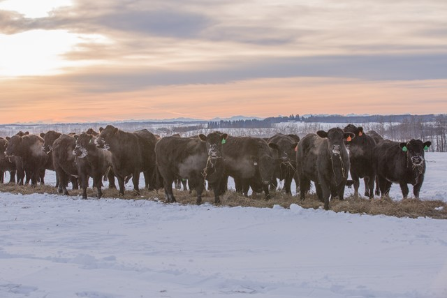 Black heifers eating fresh hay in winter