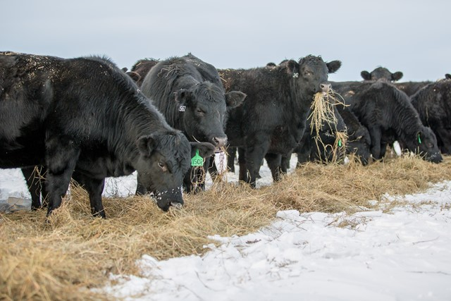Black Heifers Eating Fresh Hay