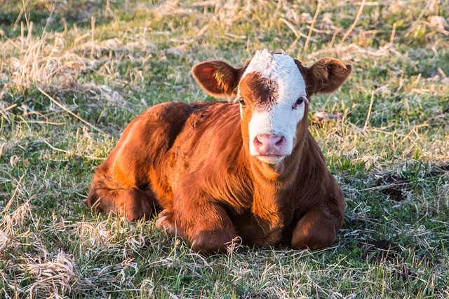 Calf Laying Down - Red and White Face