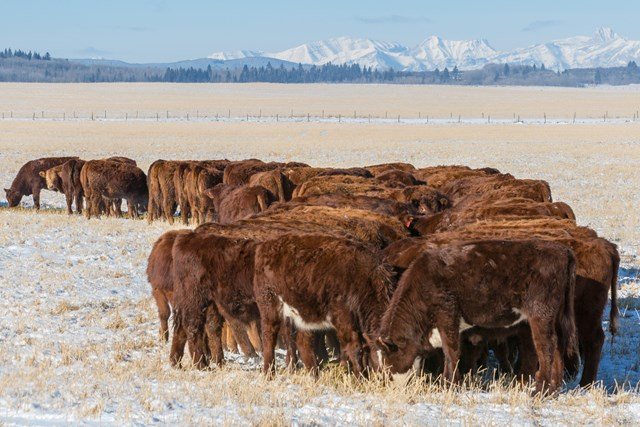 Cattle - Winter Feeding