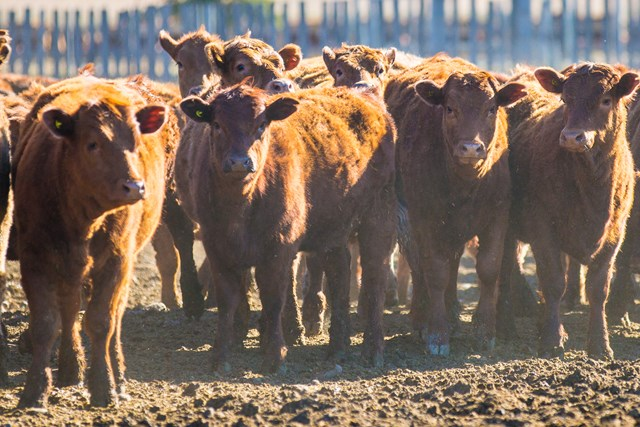 Cattle in Feedyard - Canada