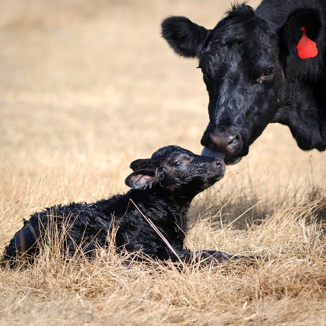 Cow Licking Newborn Calf