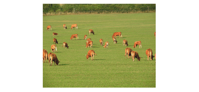 Brown cattle on green landscape
