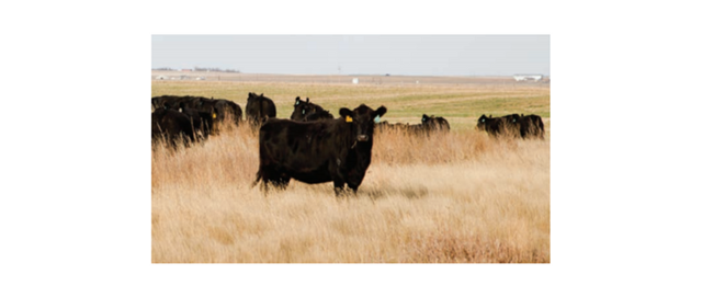 Black cattle in tall grass