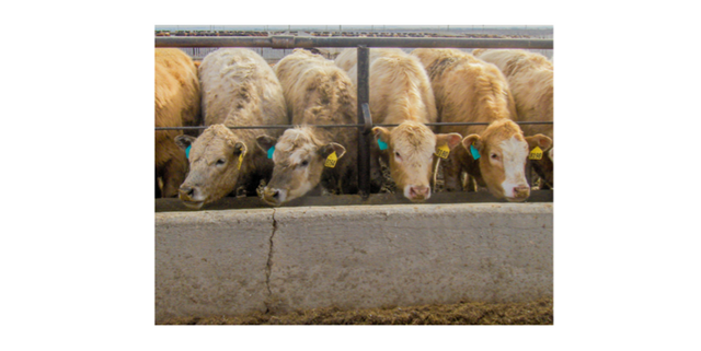 Cattle eating from trough in feedlot