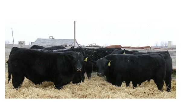 Black Angus Cattle on hay