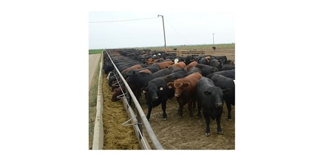 black and brown cattle in feedlot