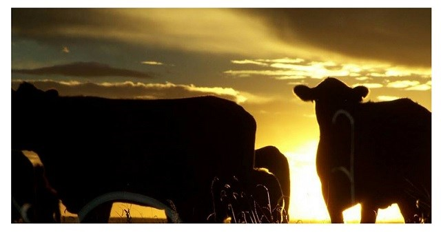 Black cattle against a sunset
