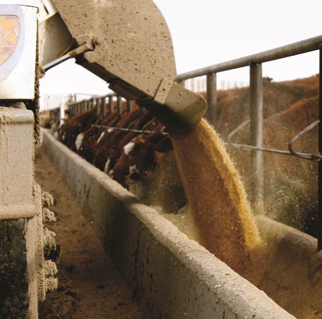 Feeding Cattle in Feedlot