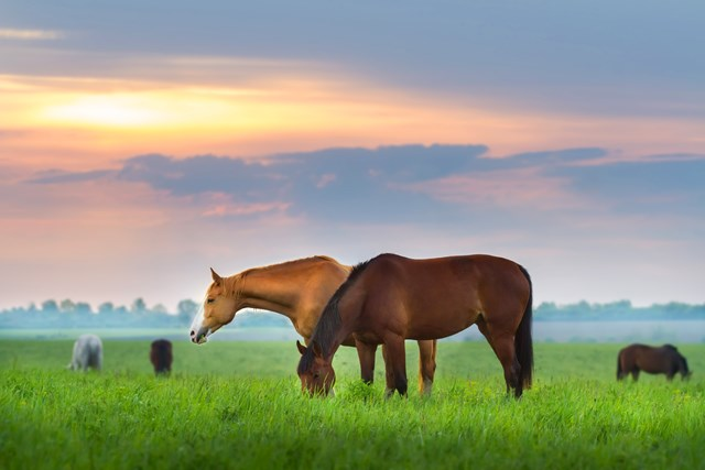 two horses graze on green pasture with sunset
