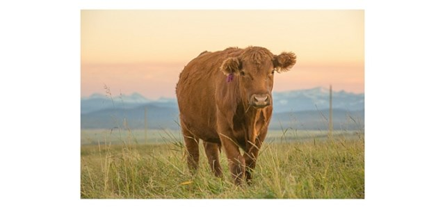 brown cow against a sunset