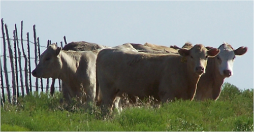 group of cows in front of a fence