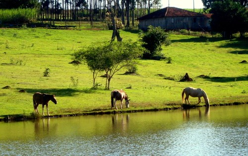horses drinking from a pond