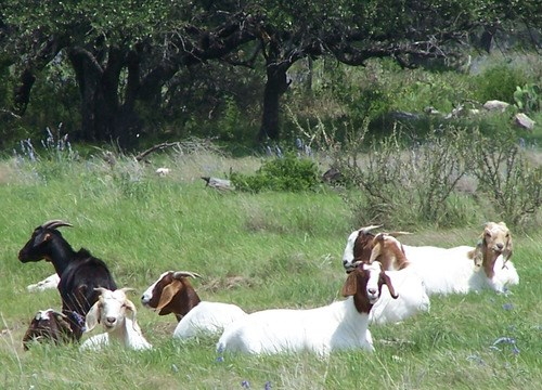 goats on grass