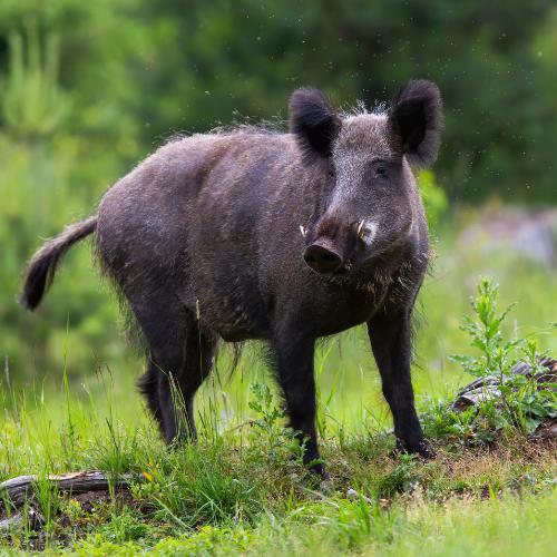 Feral hog on grass
